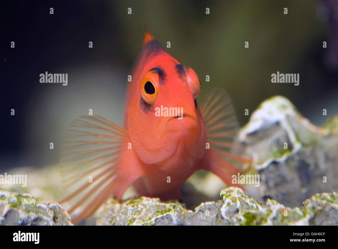Flamme Hawkfish, brillante rote Hawkfish (Neocirrhites Armatus), auf der Unterseite eines Aquariums Stockbild