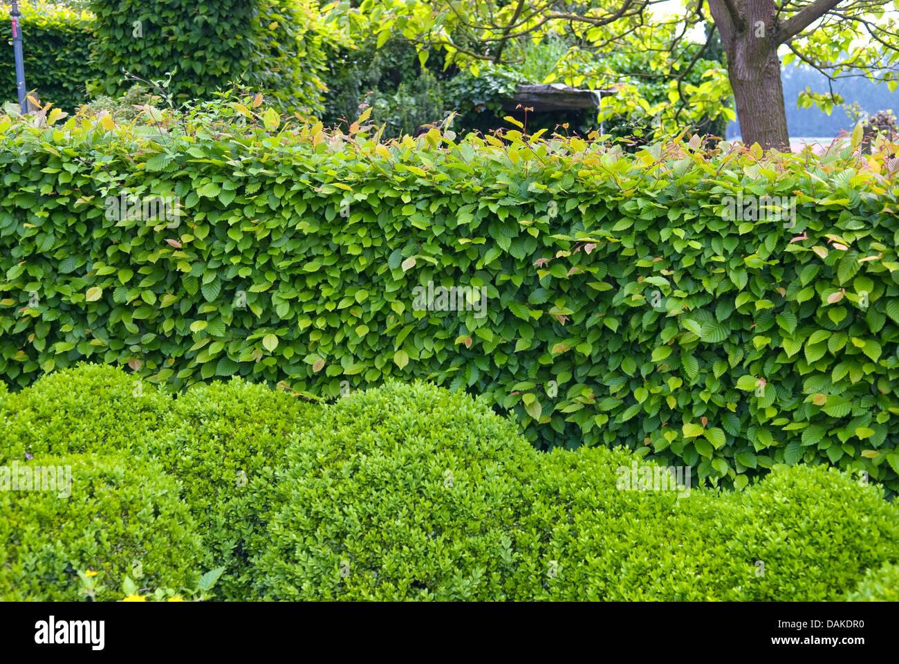 gemeinsamen hainbuche europ ische hainbuche carpinus betulus hainbuche hecke mit buchsbaum. Black Bedroom Furniture Sets. Home Design Ideas