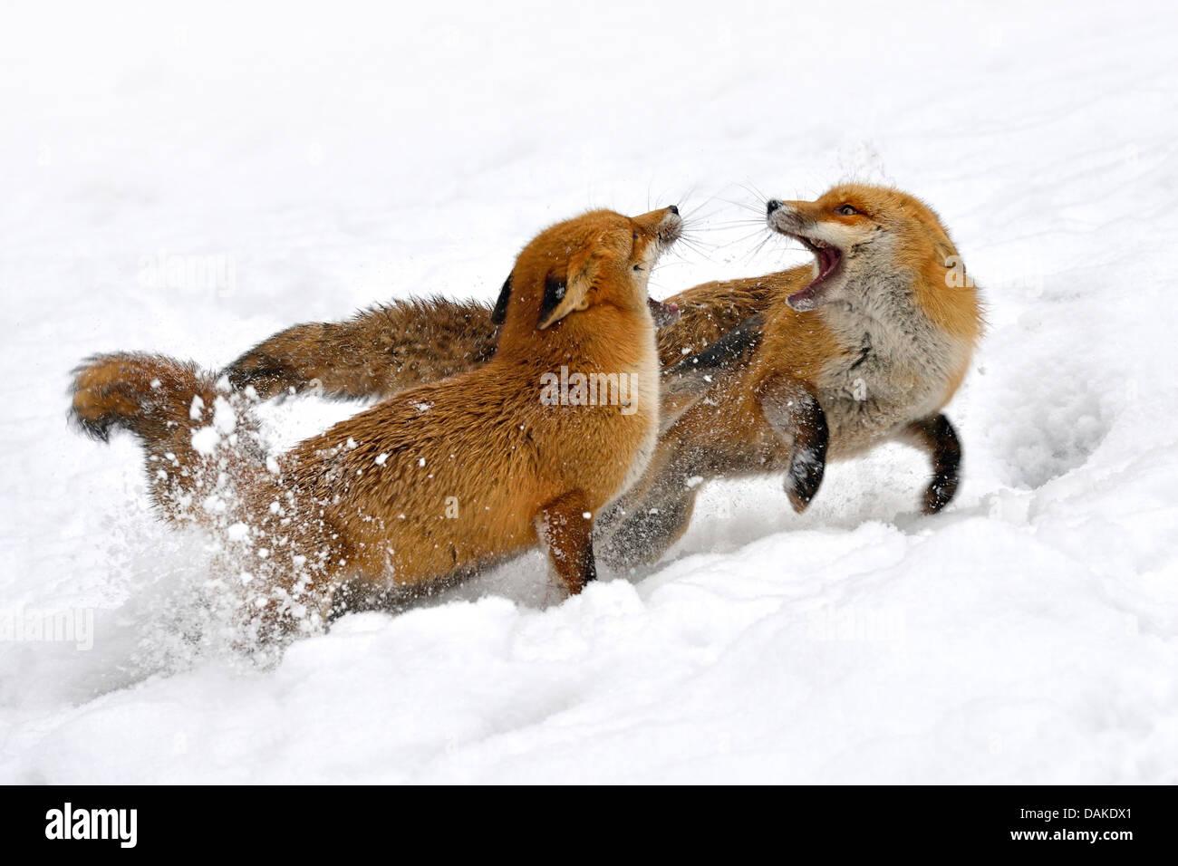 Rotfuchs (Vulpes Vulpes), zwei Füchse, kämpfen im Schnee, Deutschland Stockbild