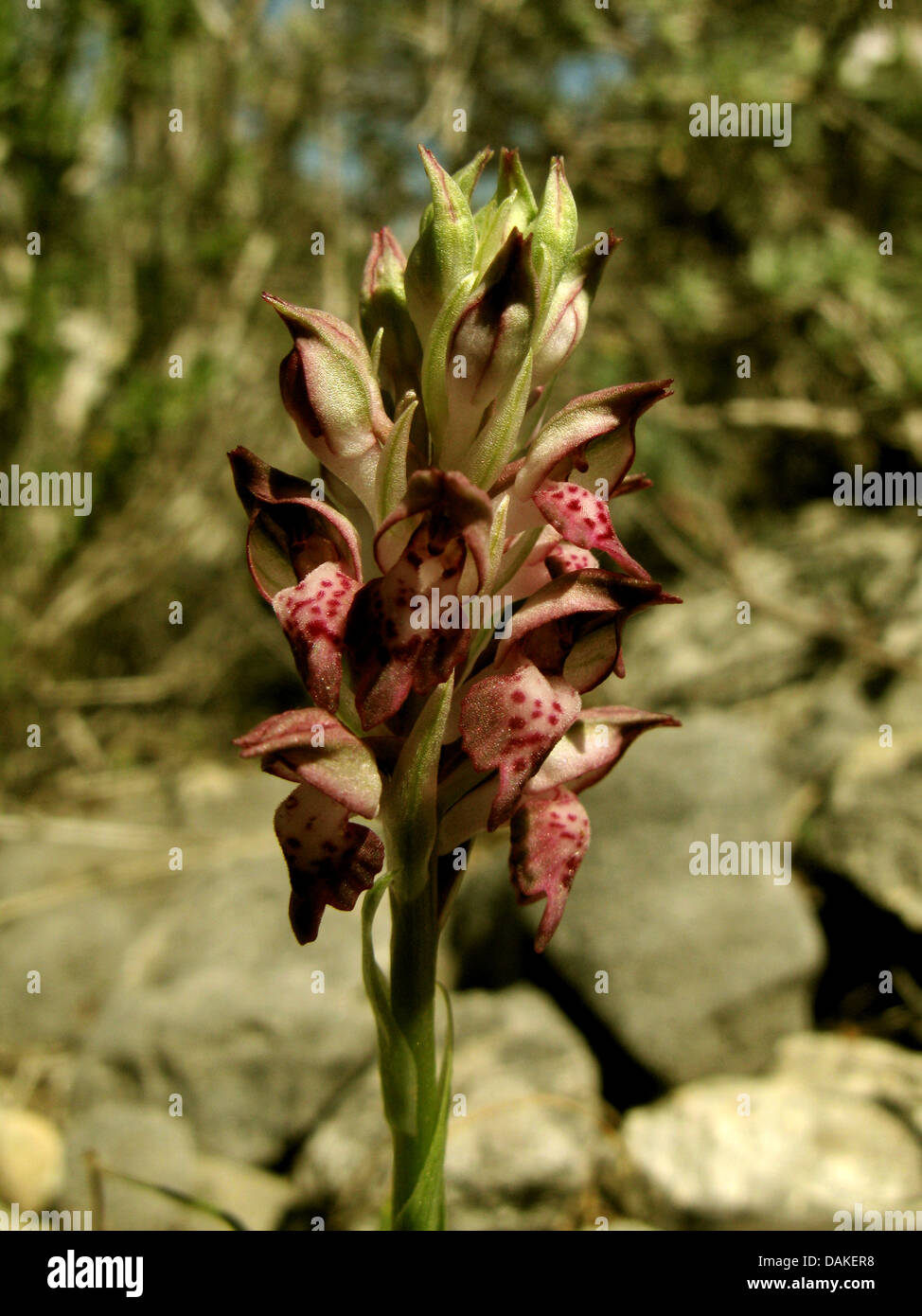 Orchideen (Orchis Coriophora SSP. Fragrans), Blütenstand, Griechenland, Peloponnes Stockbild