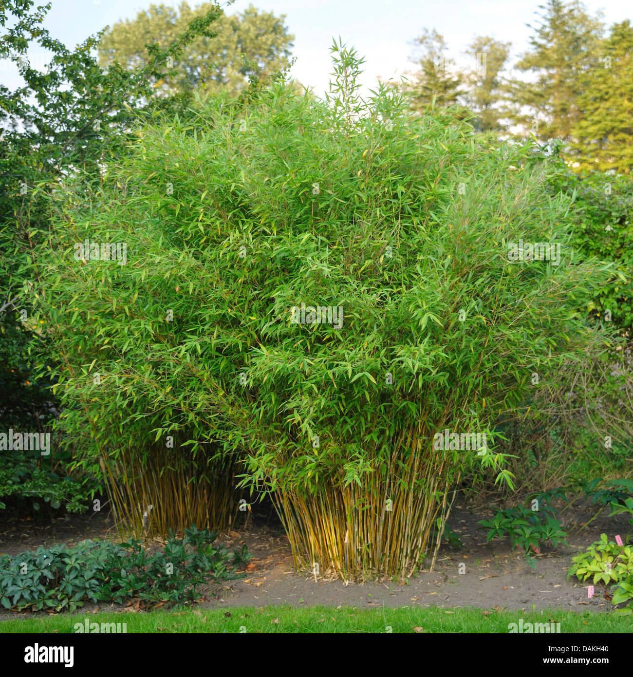 Fargesia murielae stockfotos fargesia murielae bilder for Garten bambus