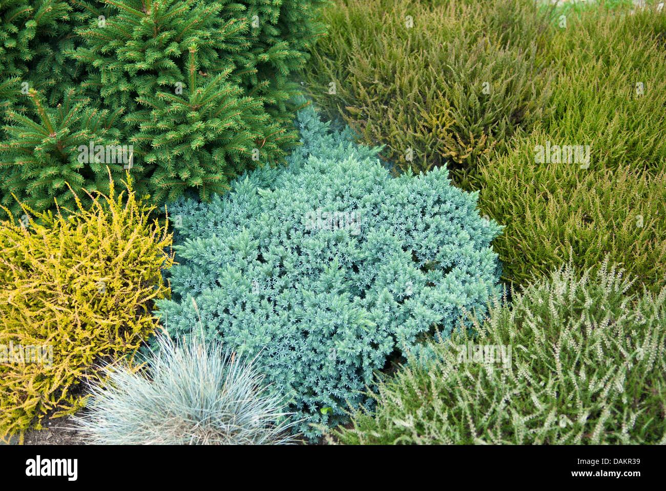 Blaue Sterne Wacholder (Juniperus Squamata 'Blue Star', Juniperus Squamata Blue Star), Sorte blau Sterne Stockbild