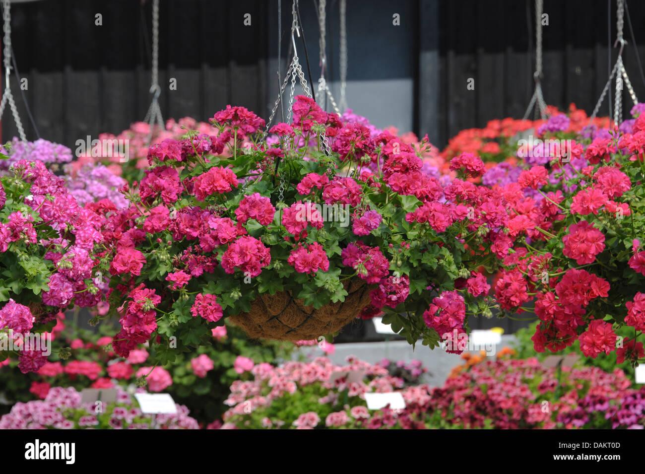 Pelargonium Stockfotos Amp Pelargonium Bilder Alamy