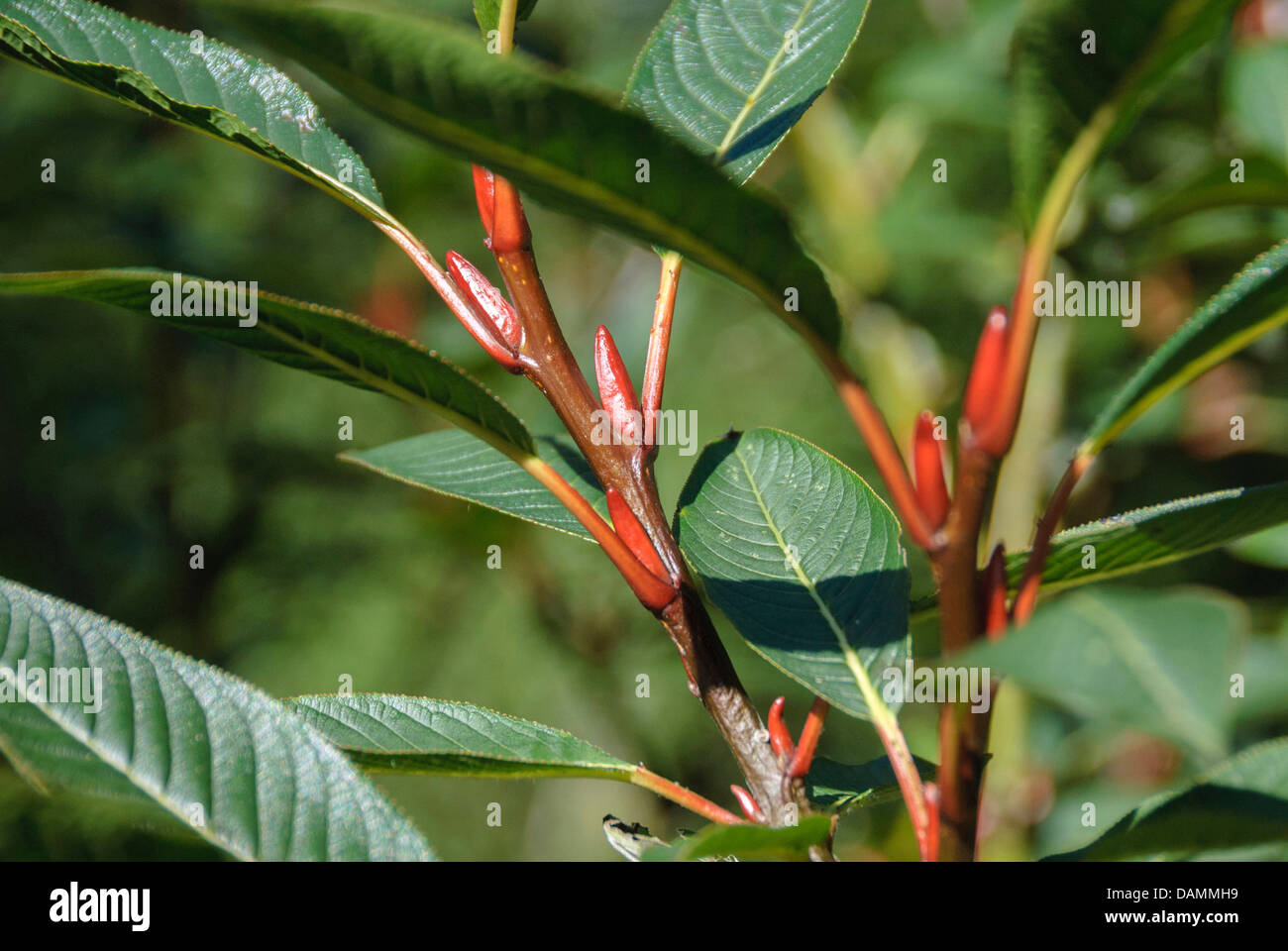 Farges Weide (Salix Fargesii), Zweig mit Knospen, Schweiz Stockbild