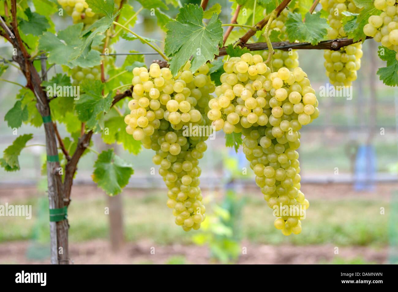 Rebe, Weinrebe (Vitis Vinifera 'Rubanka', Vitis Vinifera Rubanka), Sorte Rubanka Stockbild