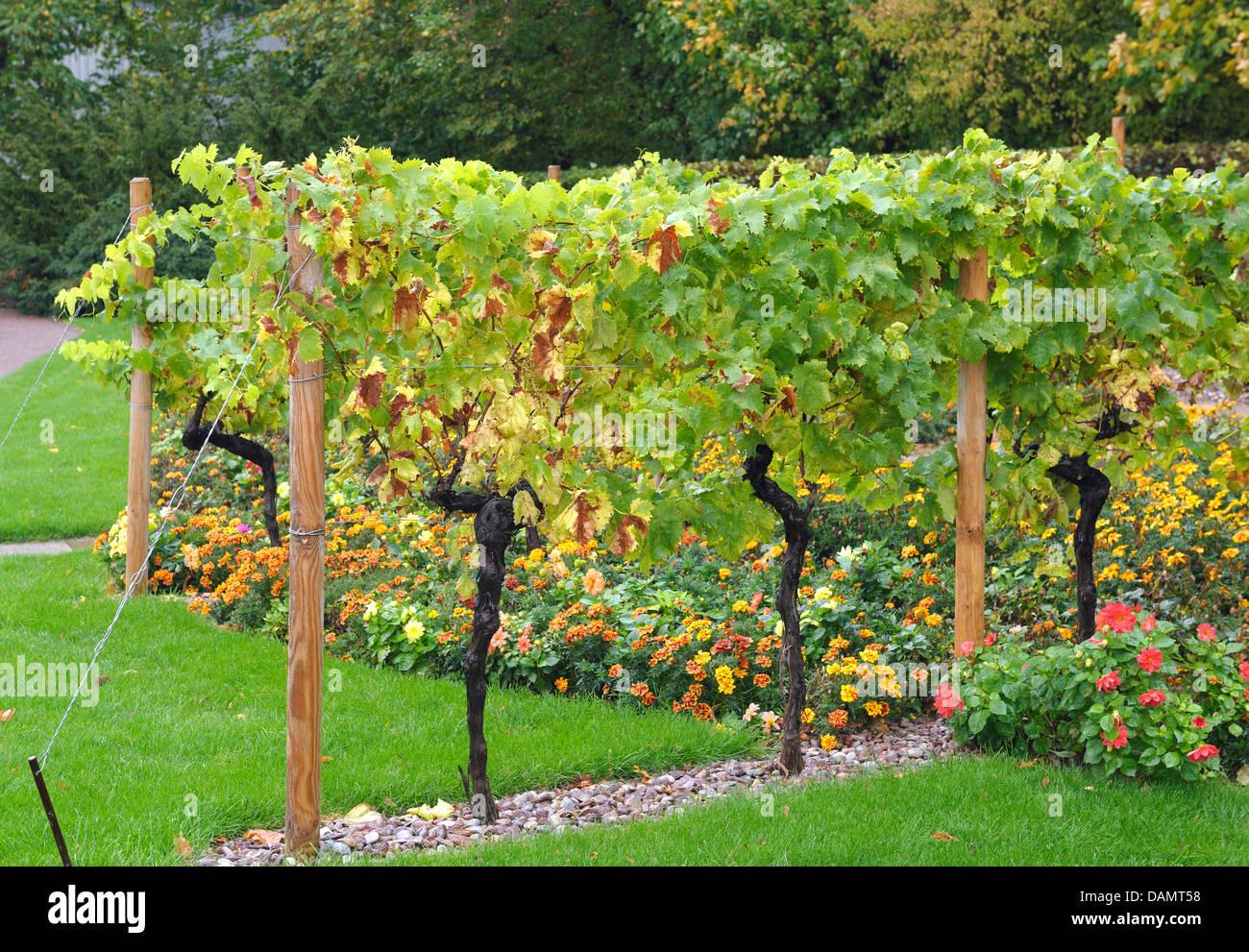 Rebe, Weinrebe (Vitis Vinifera), Rebe Spalier, Deutschland Stockbild