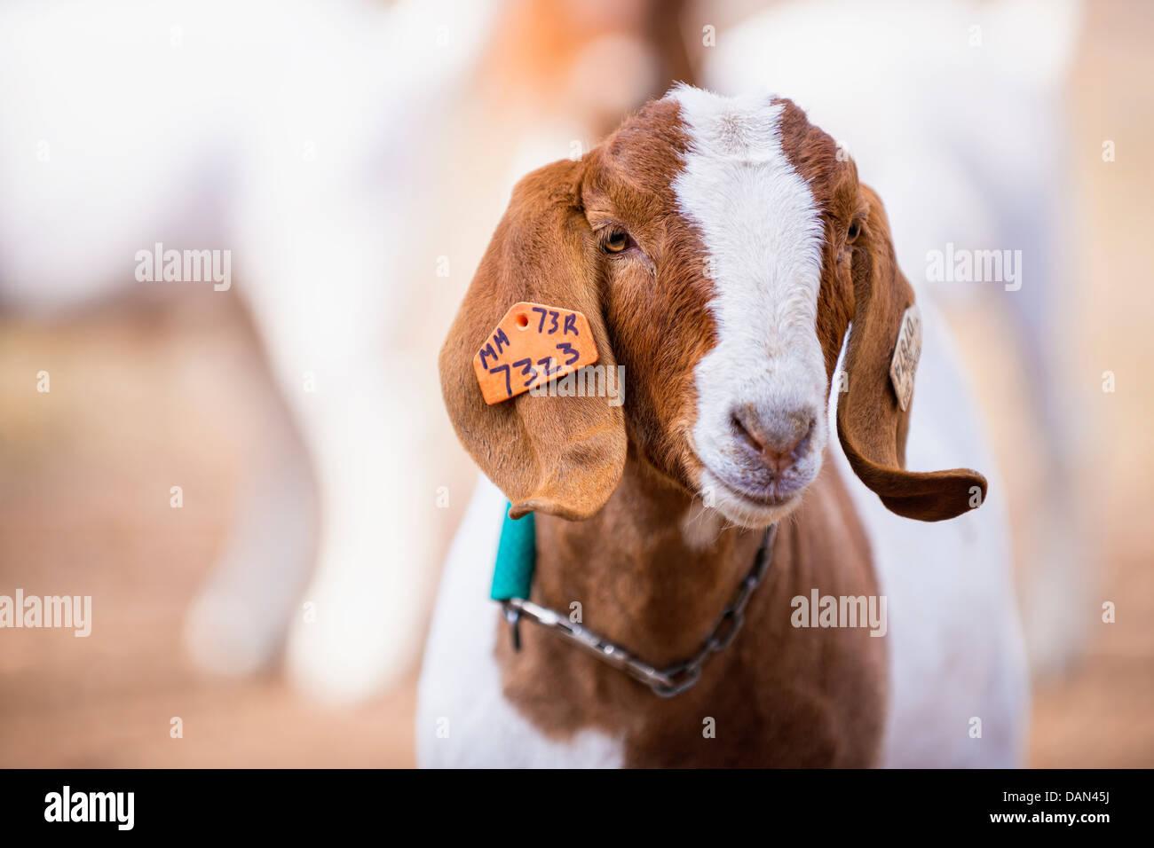 Close Up Image Goat Stockfotos & Close Up Image Goat Bilder - Seite ...