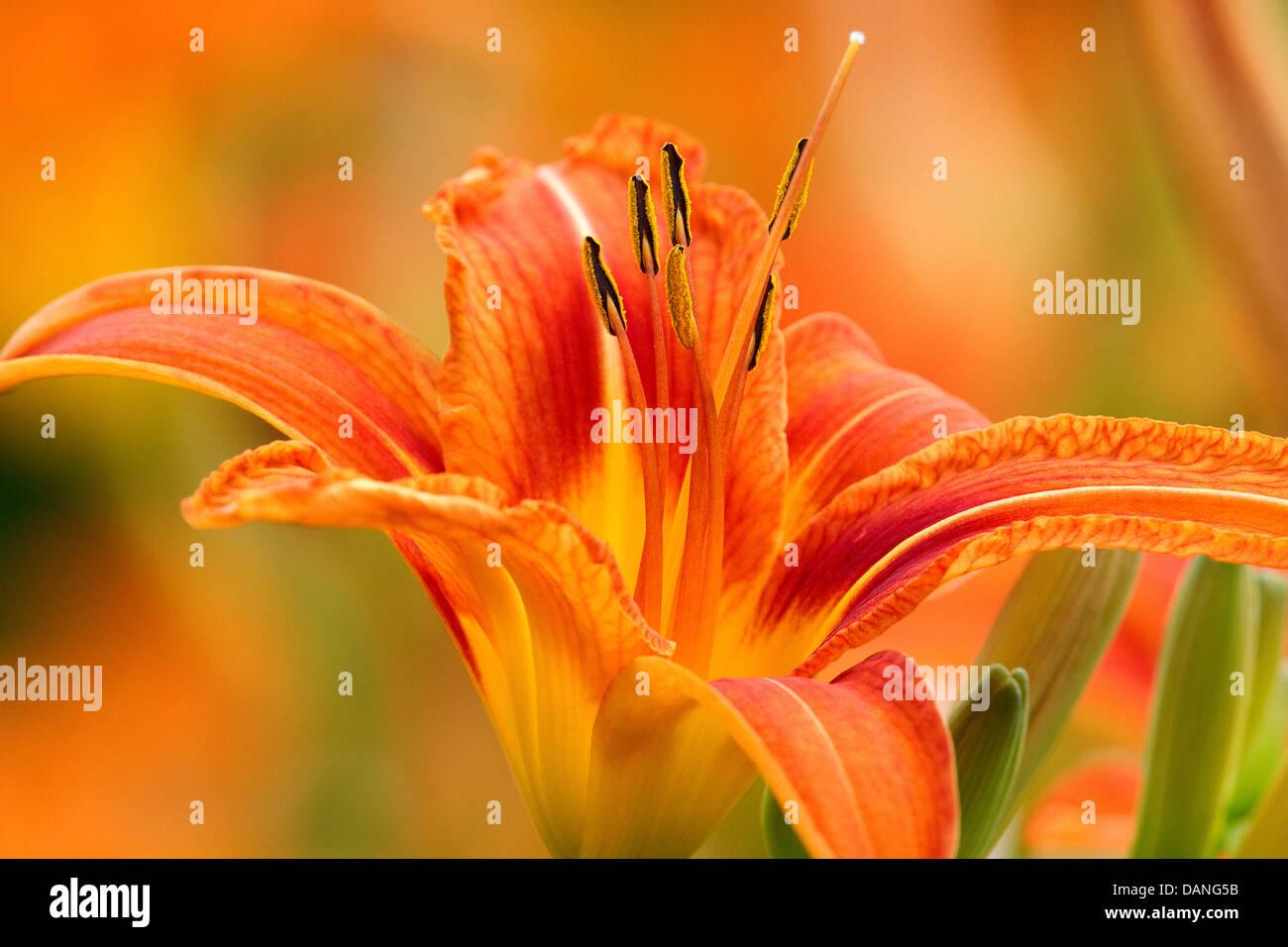 Blume Nahaufnahme, Daylily, mit Blumen im Hintergrund. Der Gattung Hemerocallis. Stockbild
