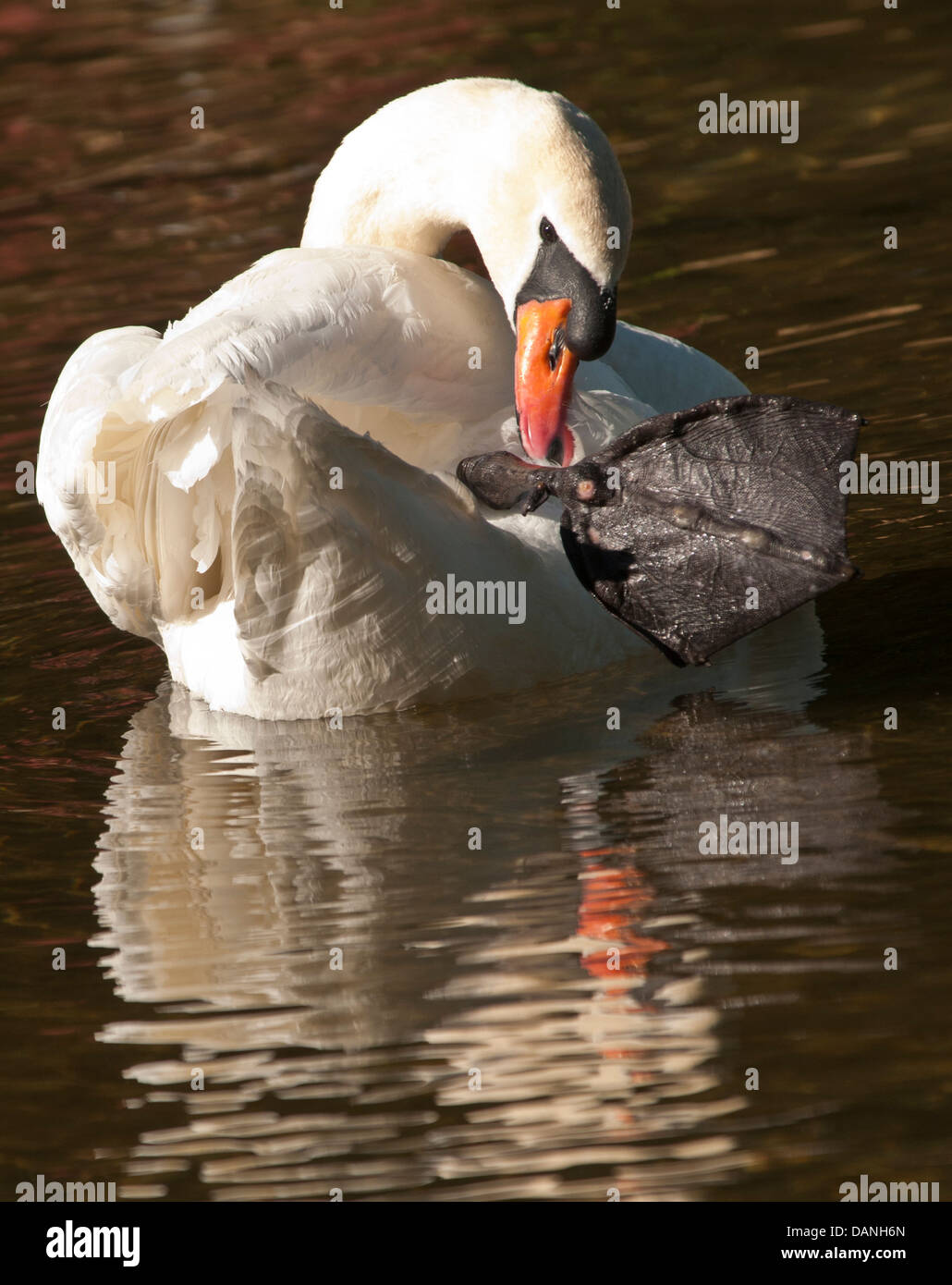 Höckerschwan hält große Schwimmfuß während grooming Federn in einem Teich. Boise, Idaho Stockbild