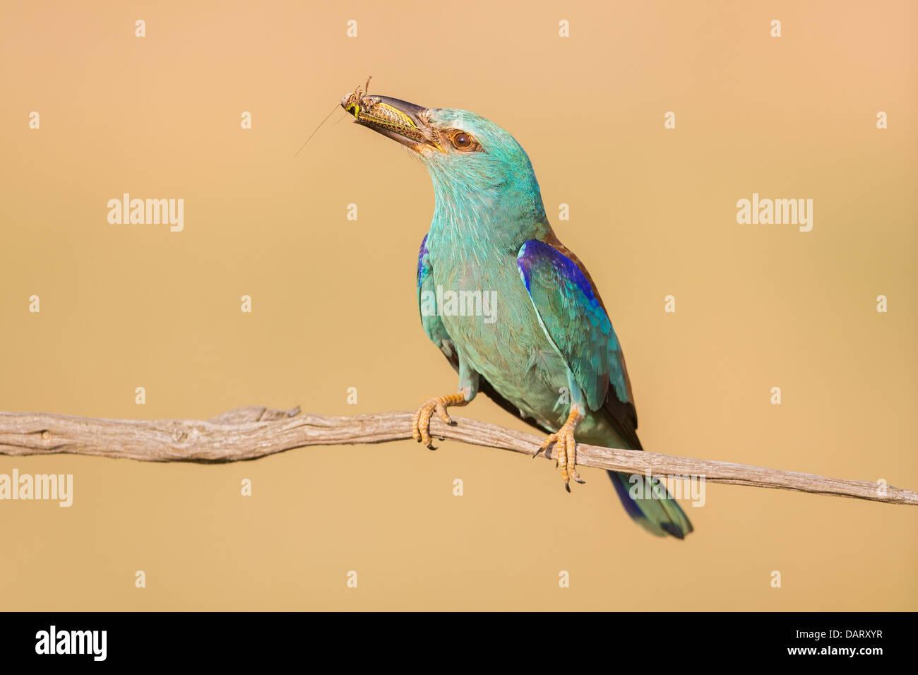 Wilde Blauracke (Coracias Garrulus) ruht auf einem Ast mit einem frisch gefangenen Insekt Stockbild