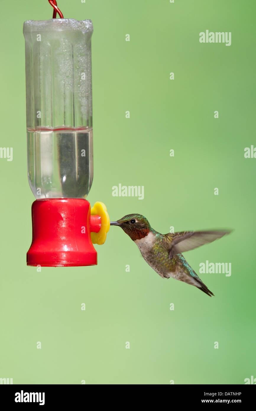 Ruby ? Throated Kolibri am Feeder - vertikal Stockbild