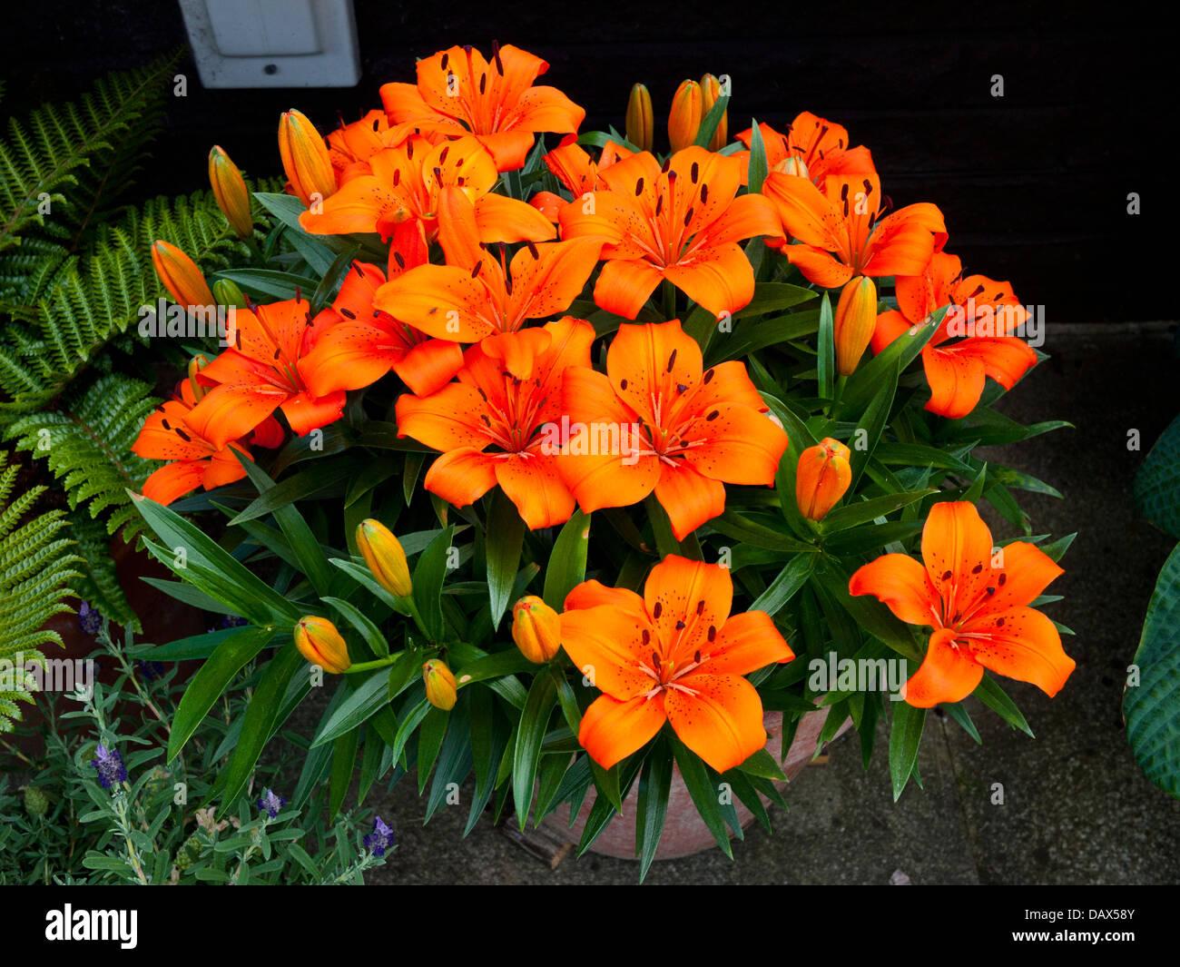 Tiger-Lilien (Lilium Lancifolium) Stockbild