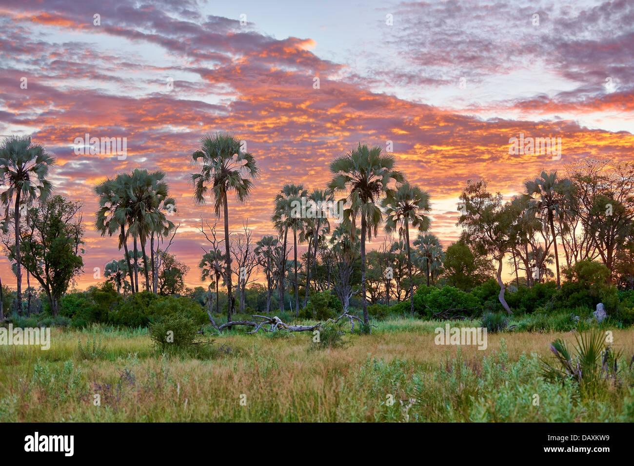 Sonnenaufgang mit Wolken hinter Palmen in Chitabe, Okavango Delta, Botswana, Afrika Stockbild