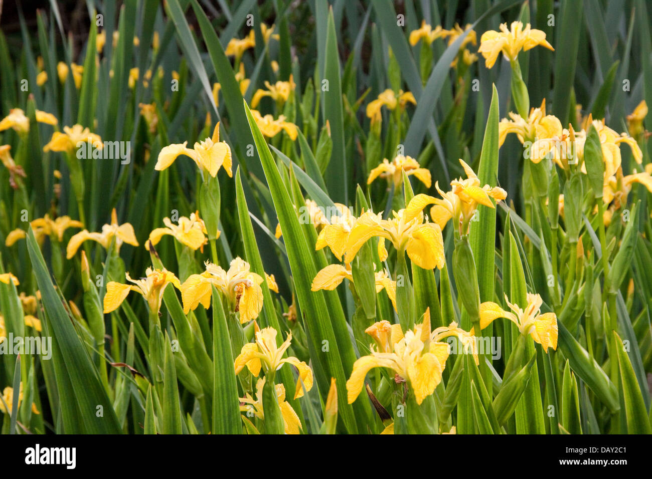 gelbe blume iris pseudacorus iridaceae stockfoto bild 58372273 alamy. Black Bedroom Furniture Sets. Home Design Ideas