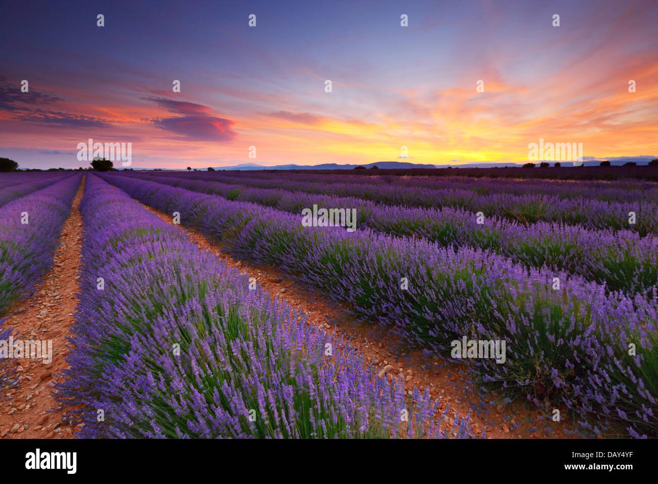 Lavendel Feld Sonnenuntergang Landschaft Stockbild