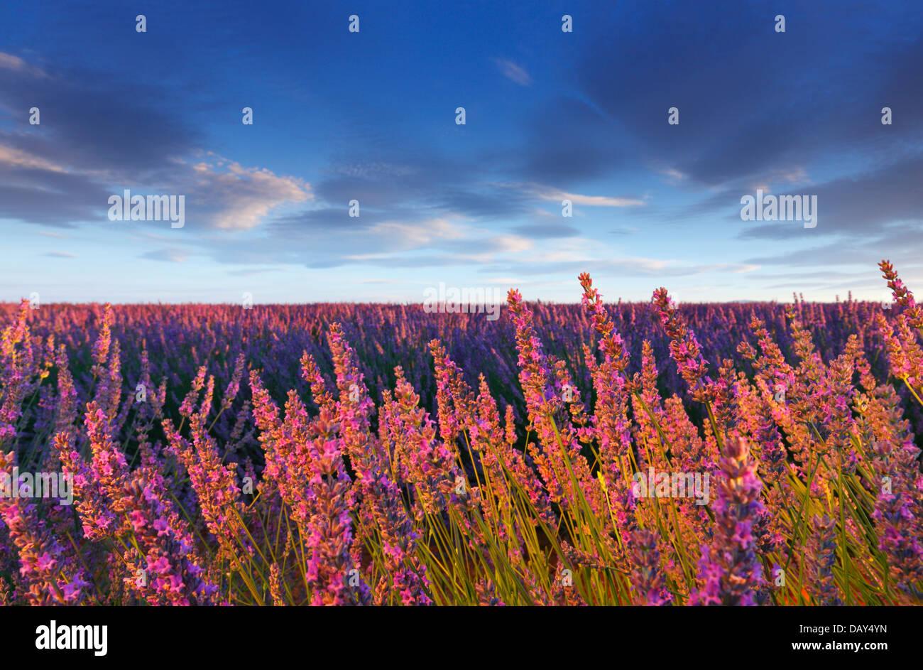 In der Provence Lavendel Blume Stockbild