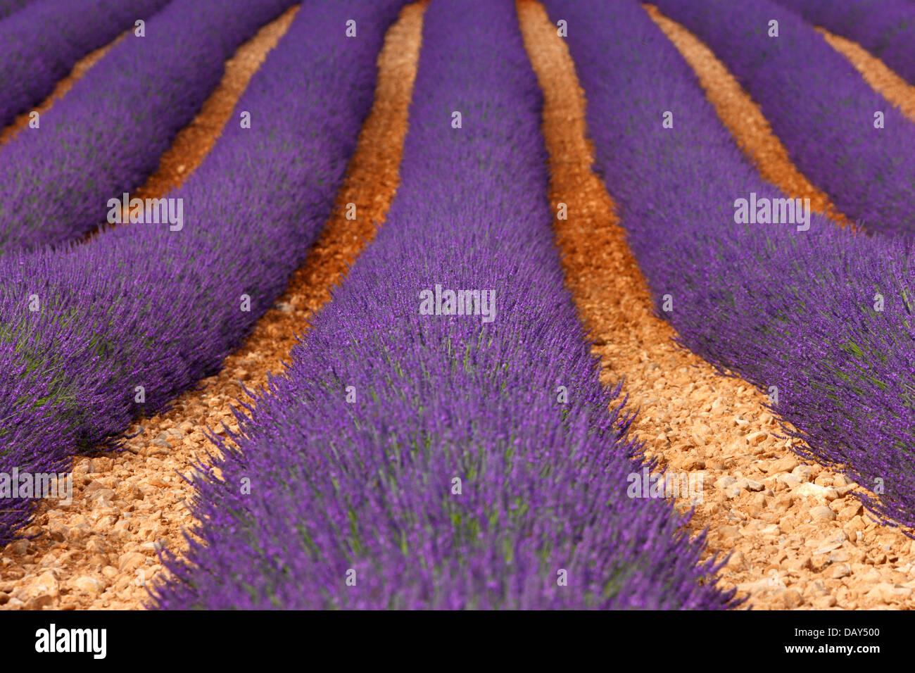 Lavendel Feld, Provence Stockbild
