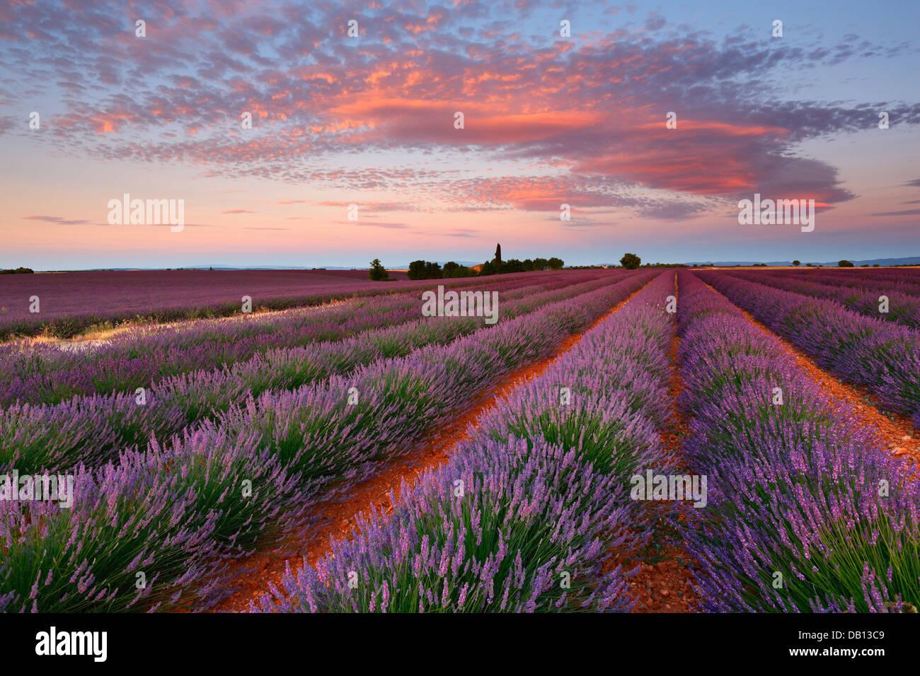 Sonnenaufgang mit schönen Wolken über Lavendelfeld, Provence, Frankreich Stockbild
