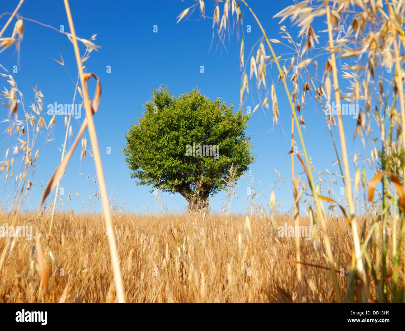 Mandelbaum, Provence, Frankreich Stockbild