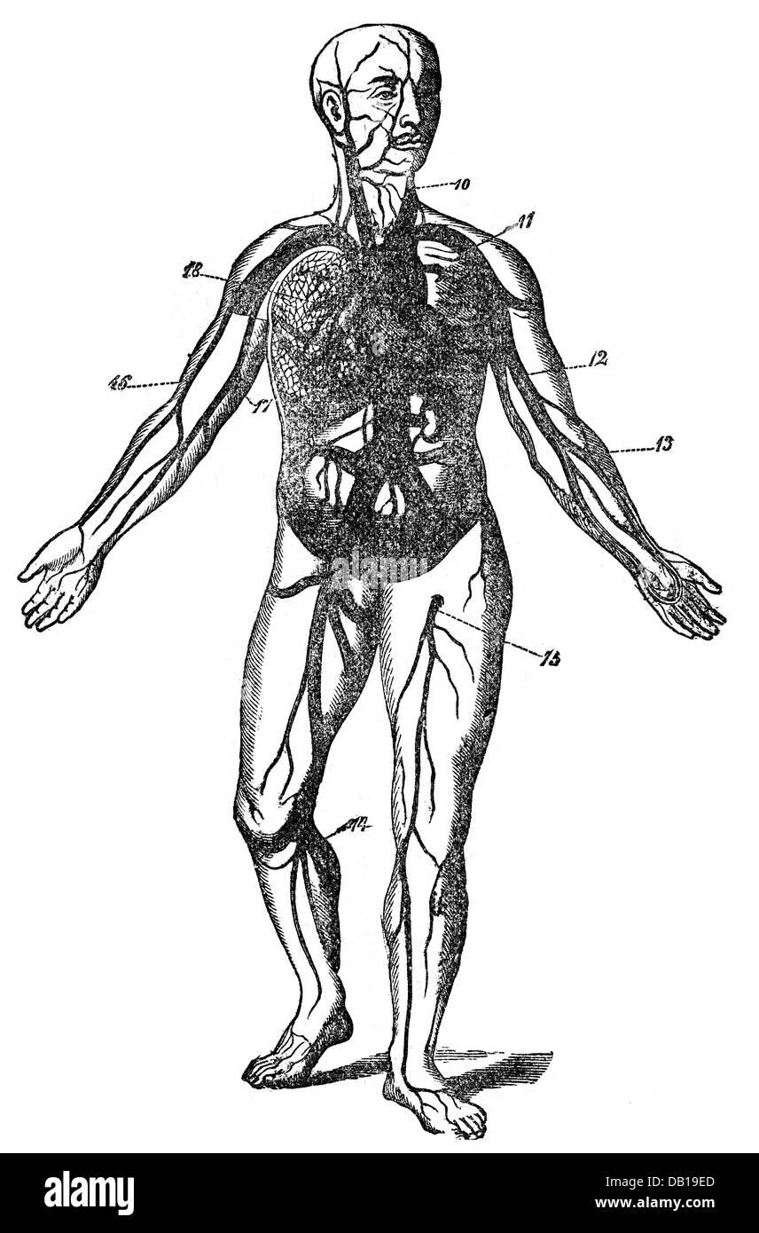 Medizin, Anatomie, Durchblutung, schematische Bild Holzstich, aus ...
