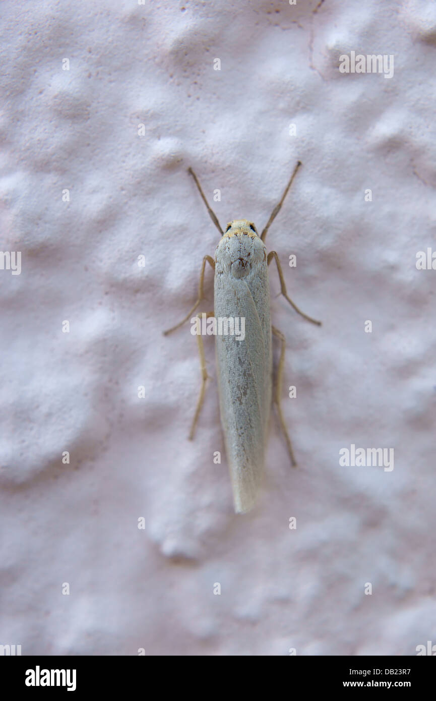 kleine Motte Stockfoto, Bild: 58439227 - Alamy