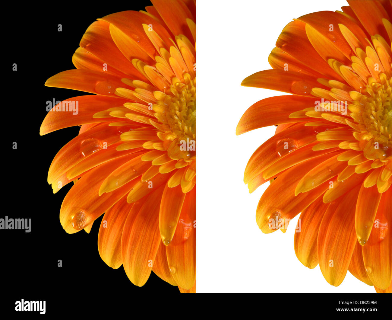 orangefarbene blume mit clippingpath isoliert stockfoto bild 58440416 alamy. Black Bedroom Furniture Sets. Home Design Ideas