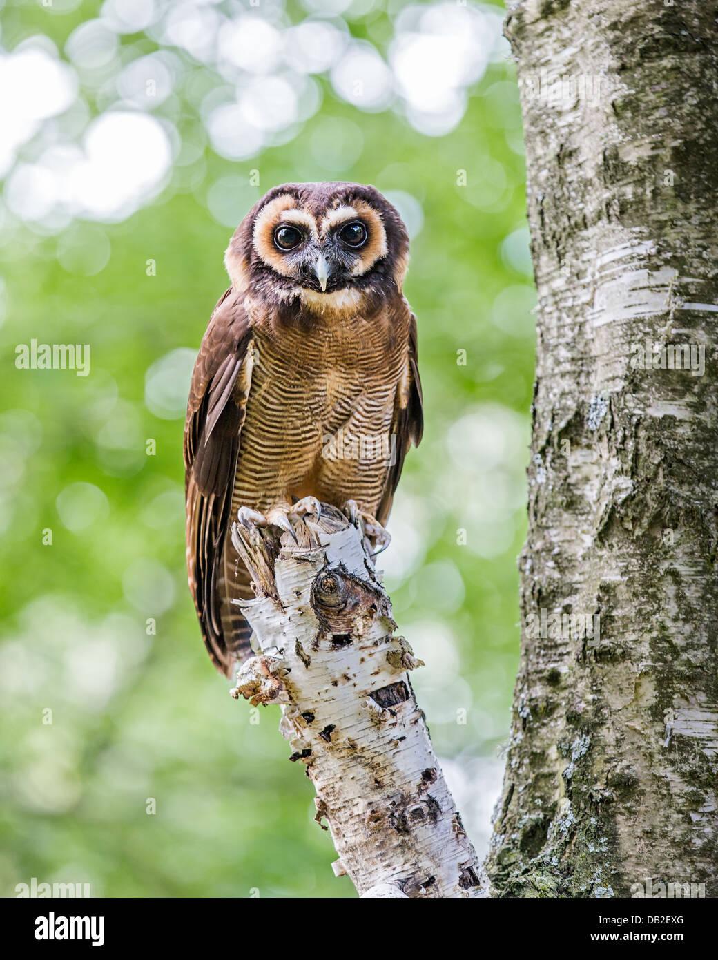 Braune Holz-Eule (Strix Leptogrammica) thront auf einem Baum. Auch bekannt als malaysische Holz Eule. Stockfoto