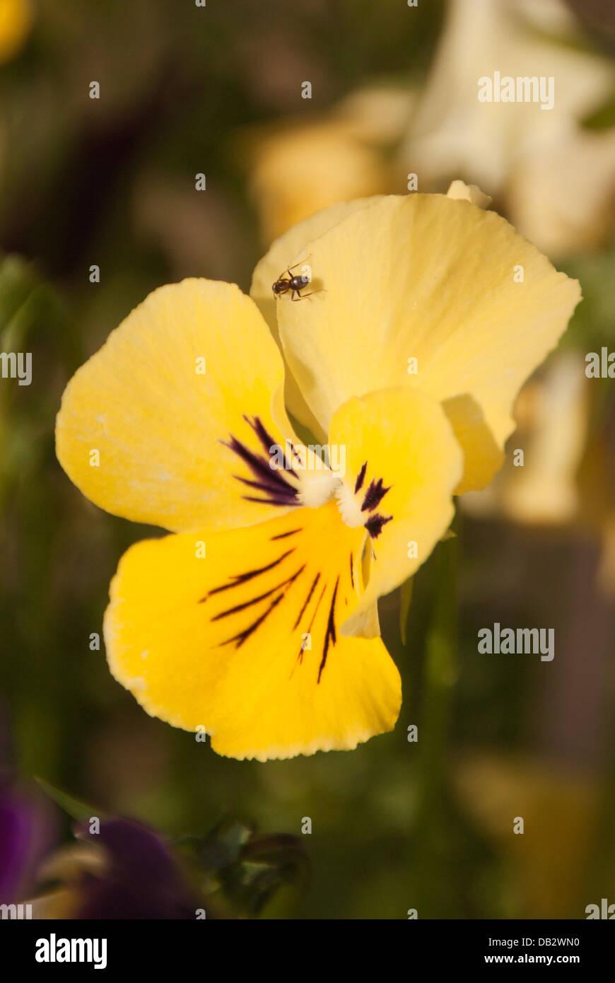 Schwarzer Garten Ant Lasius Niger Nektar Aus Einem Stiefmütterchen