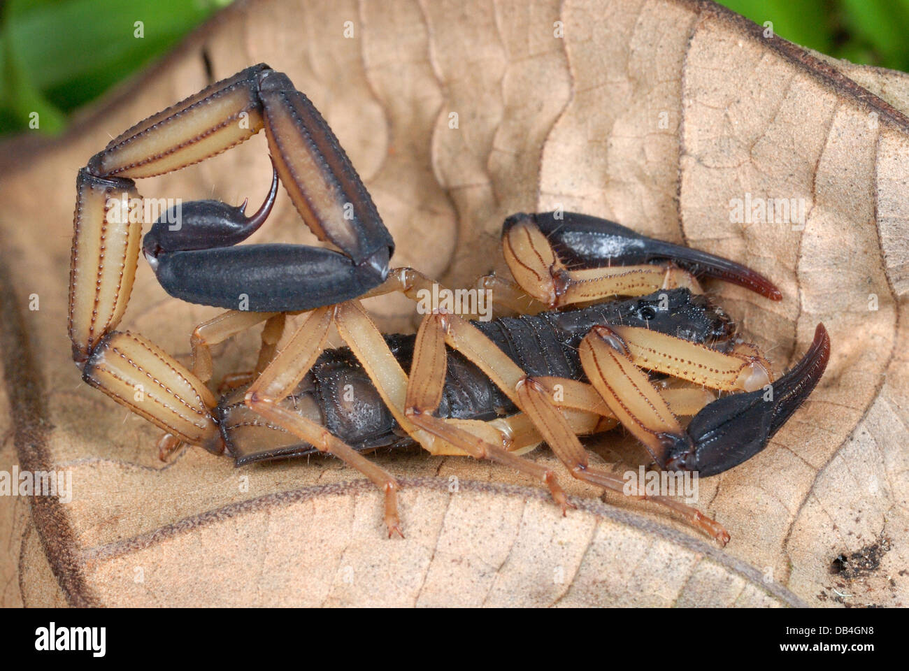 Bark Scorpion (Centruroides bicolor) im Regenwald von Costa Rica Stockbild