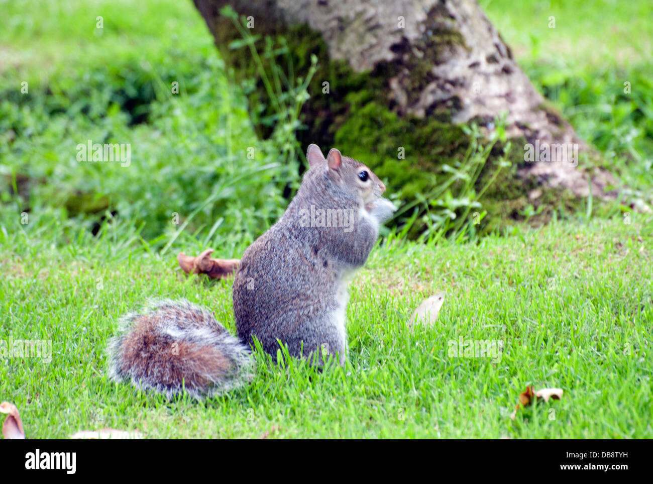 squirrels playing stockfotos squirrels playing bilder alamy. Black Bedroom Furniture Sets. Home Design Ideas