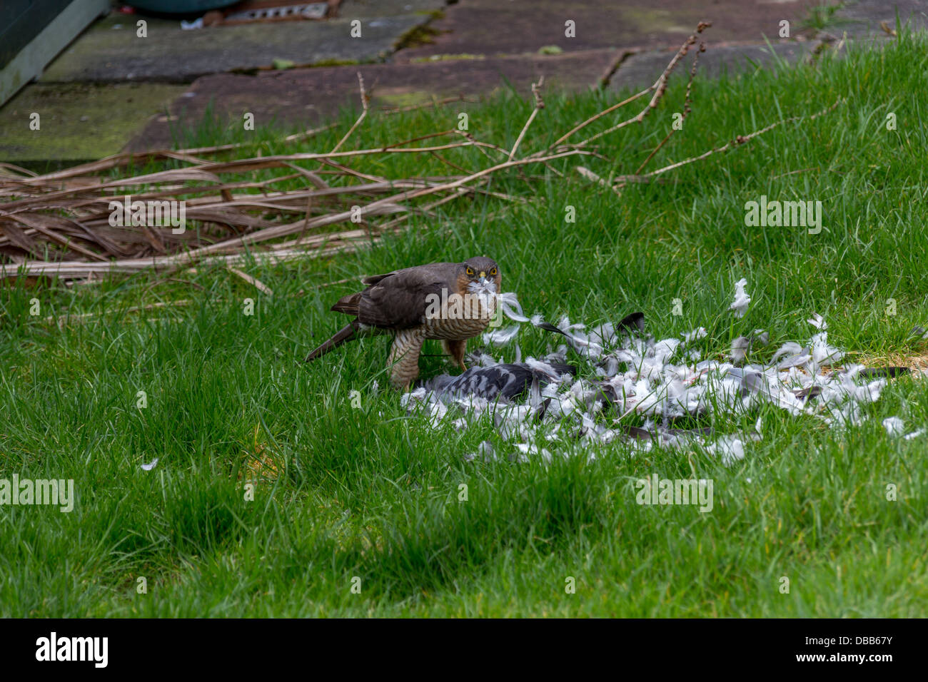 Accipiter Nisus mit Kill, Stockfoto