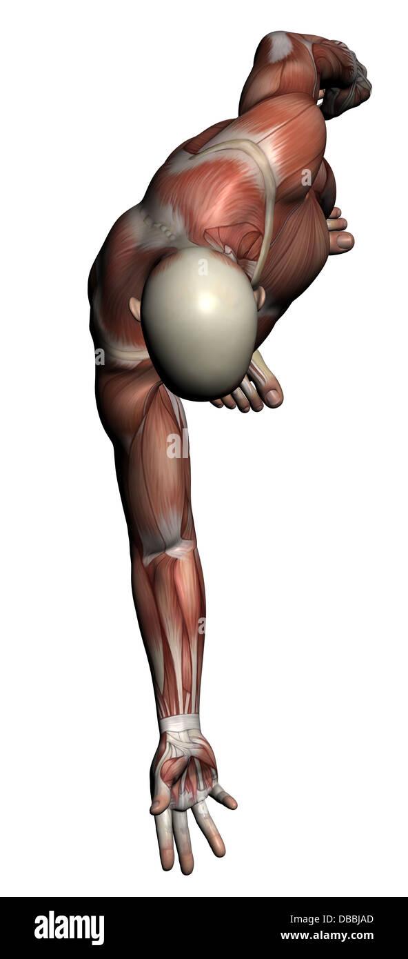 Menschliche Anatomie - männliche Muskeln in 3D-Software gemacht ...