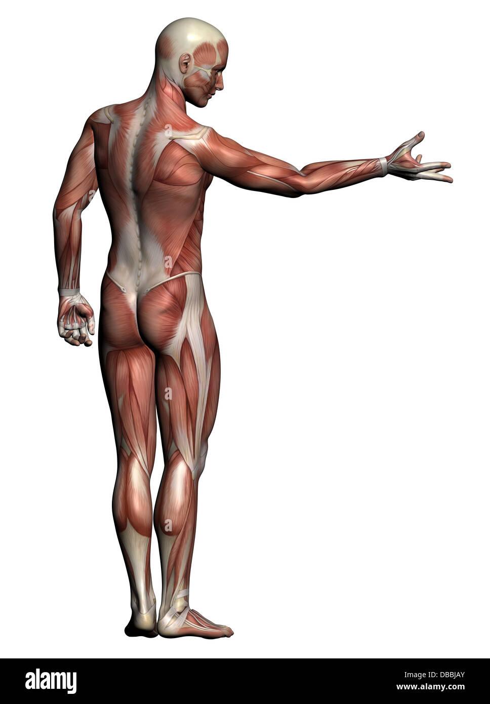Illustration Muscular In Male Anatomy Stockfotos & Illustration ...