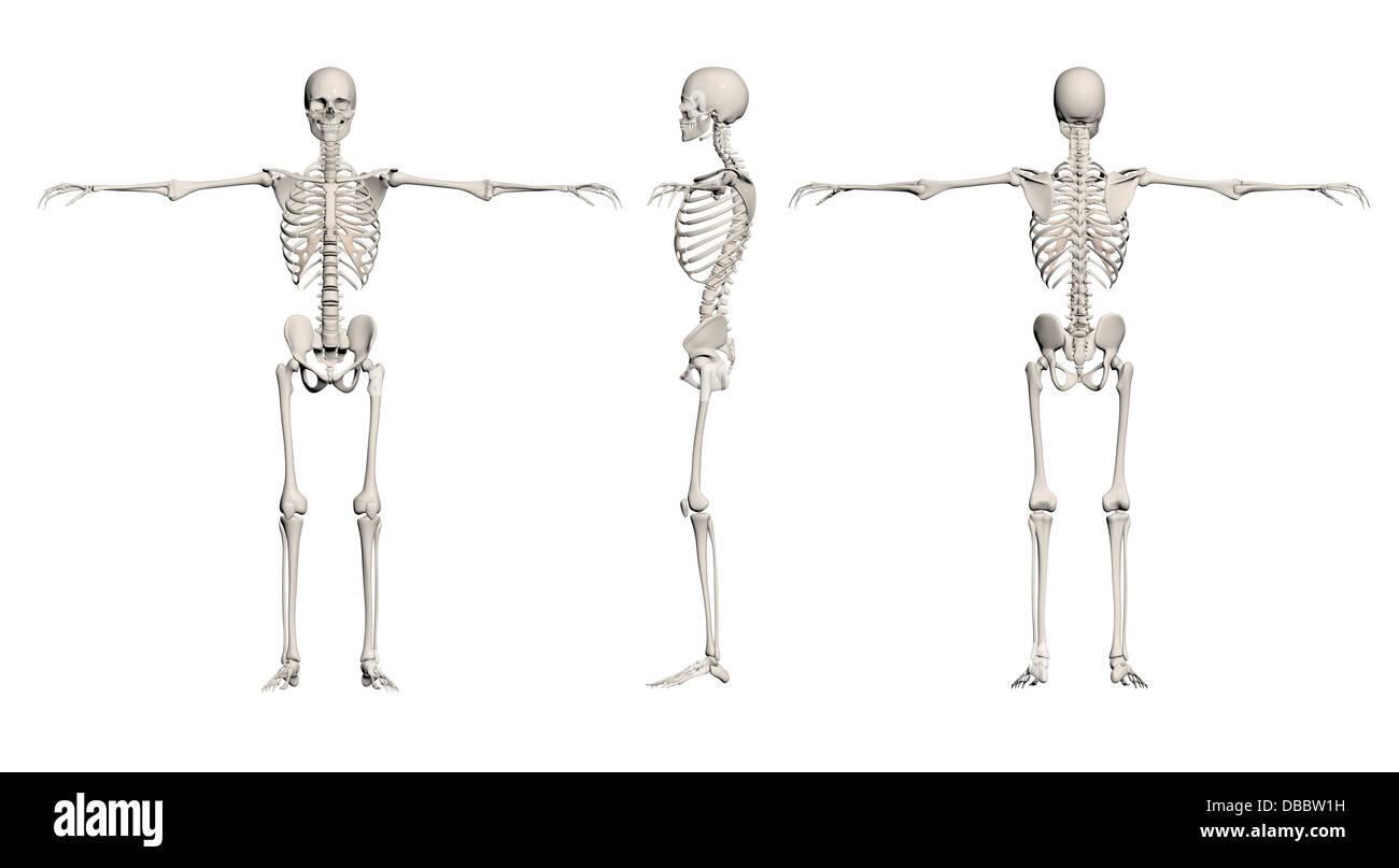 Fein Das Skelettsystem Diagramm Etikettiert Galerie - Physiologie ...
