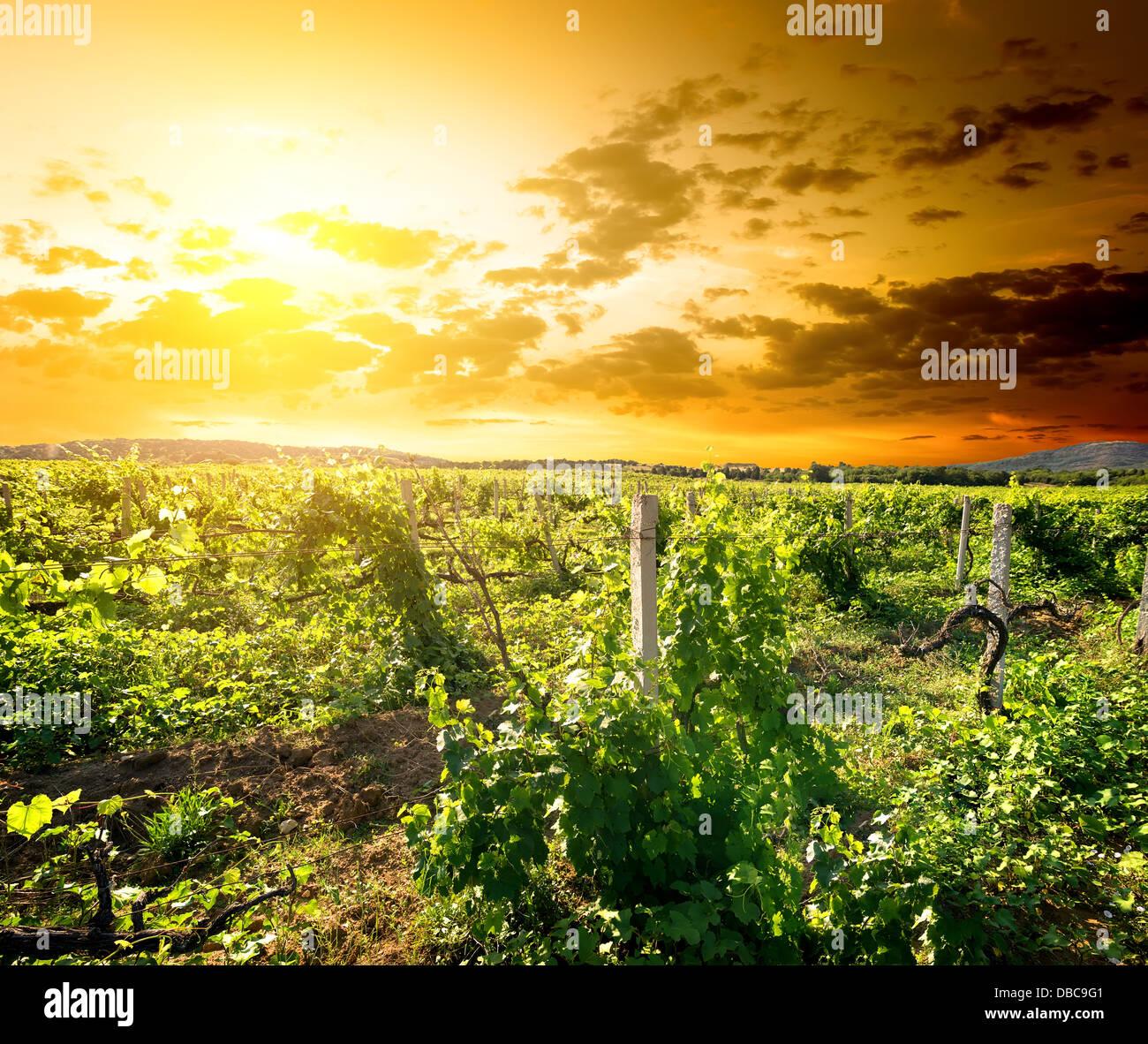 Grüne Vinyard bei den Sonnenaufgang auf der Krim Stockbild