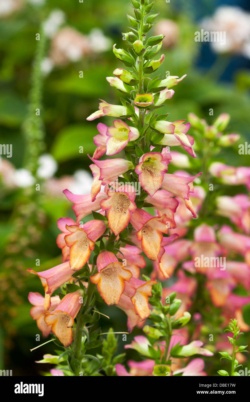 Digitalis 'Beleuchtung rosa' Fingerhut Stockbild