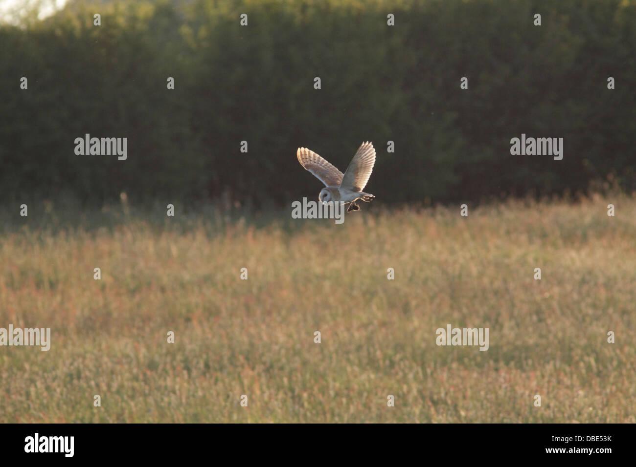 Schleiereule (Tyto Alba) Erwachsenen, während des Fluges mit Beute, über raue Feld, Ackerland, West Yorkshire, England Stockfoto