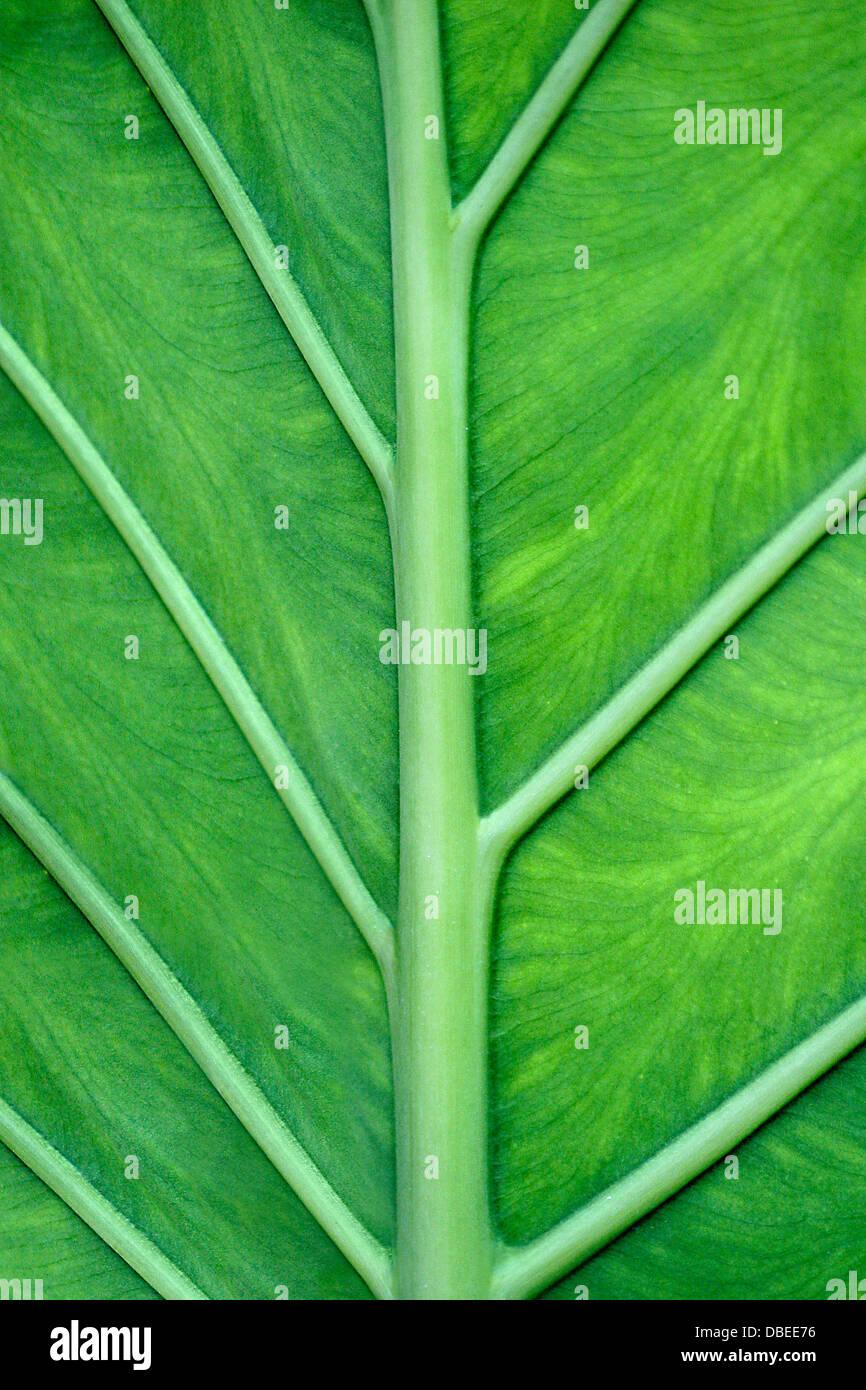 Der Venen von A Green Leaf von An Elefant Ohr Pflanze In enge bis Großansicht, Colocasia esculenta Stockfoto