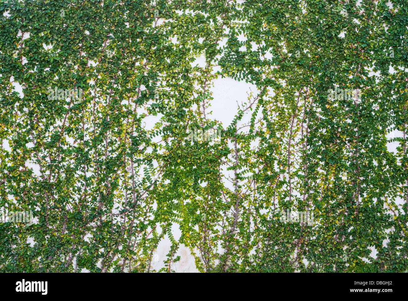 Efeu An Der Weißen Wand Textur / Hintergrund Stockfoto