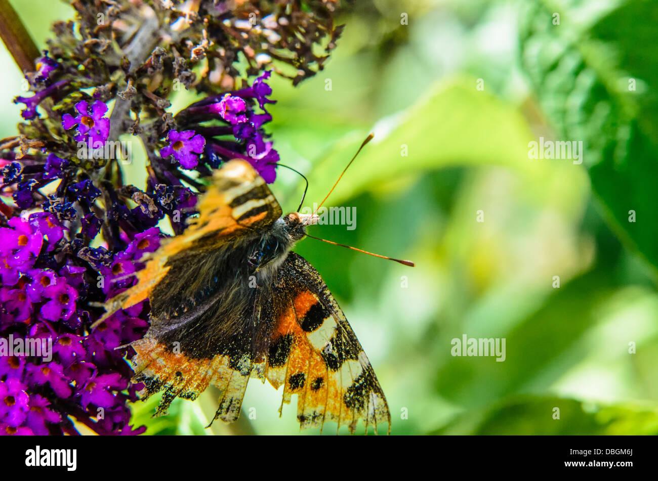 Kleiner Fuchs Schmetterling Futterung Auf Eine Budlia Stockfoto