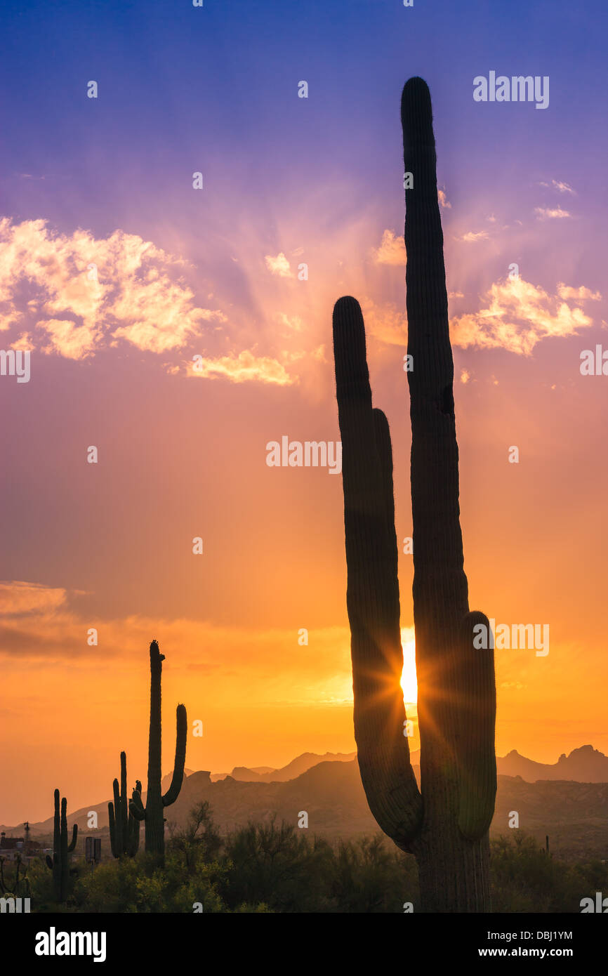 Saguaro-Kaktus bei Sonnenuntergang in Lost Dutchman State Park, Arizona, USA Stockfoto