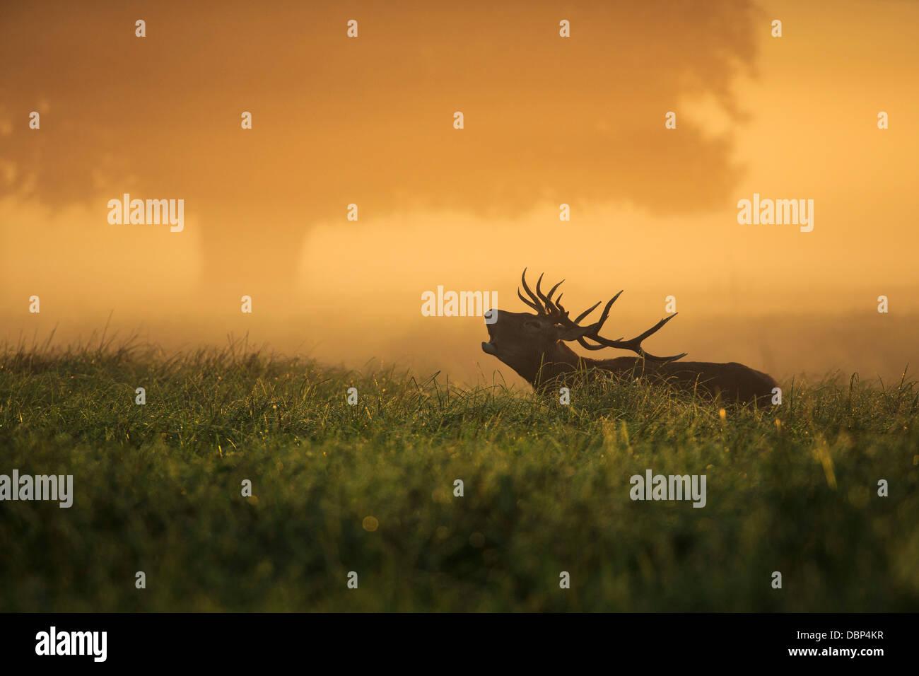 Hirsch im Feld in der Dämmerung Stockfoto