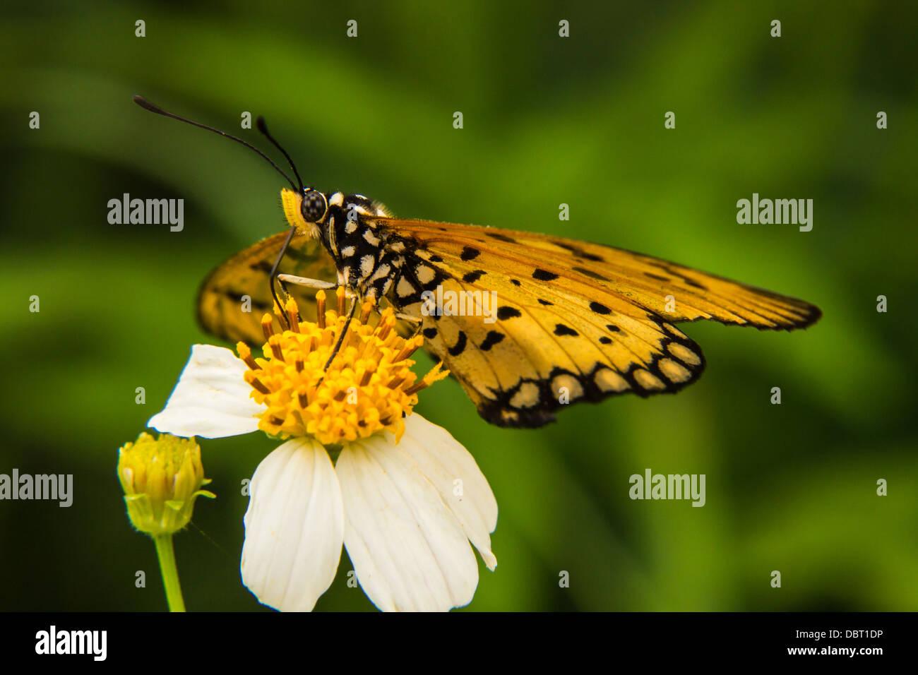 Futterung Auf Kleine Weisse Blume Schmetterling Stockfoto Bild