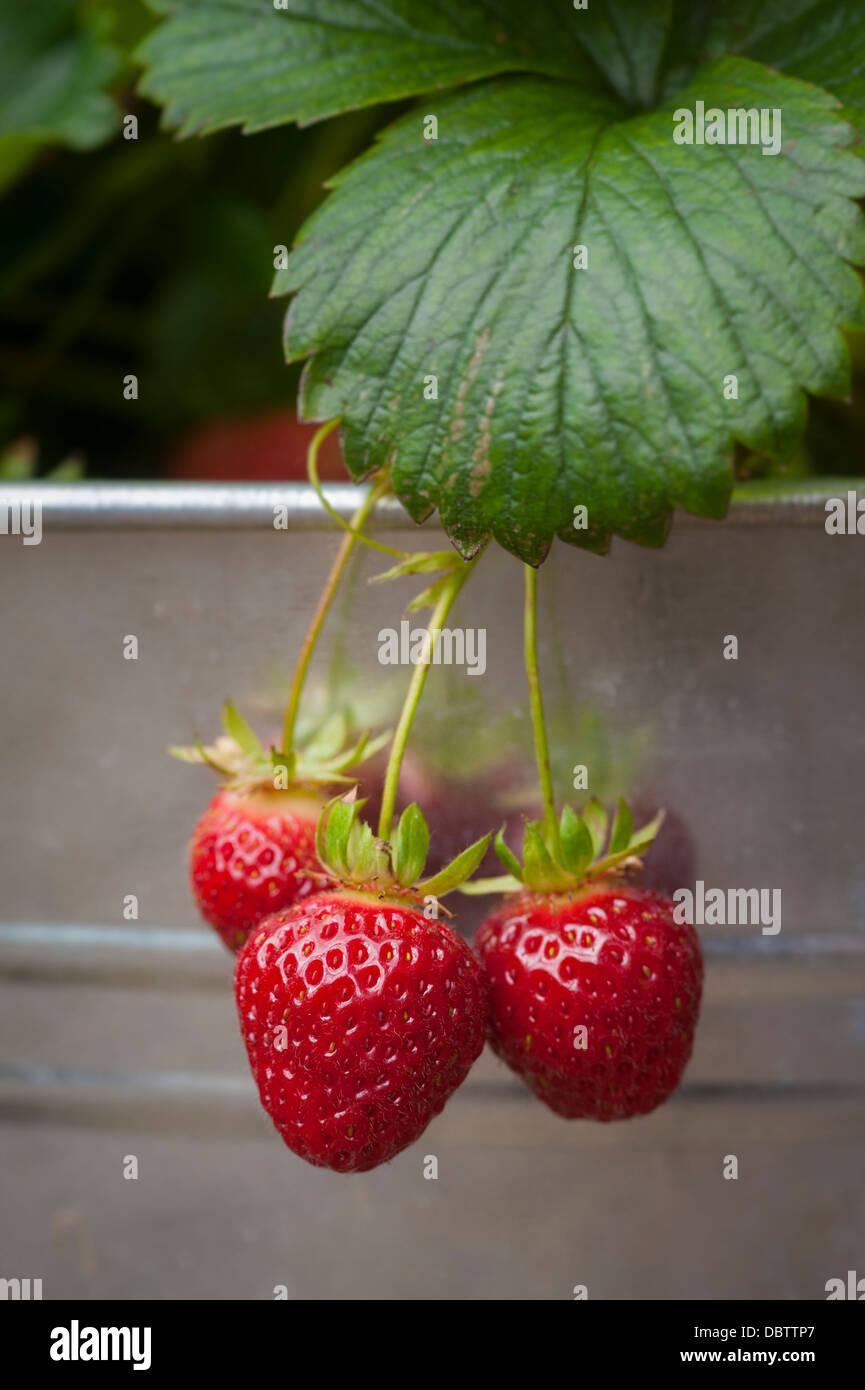 Erdbeeren wachsen in verzinkte Behälter. Stockbild