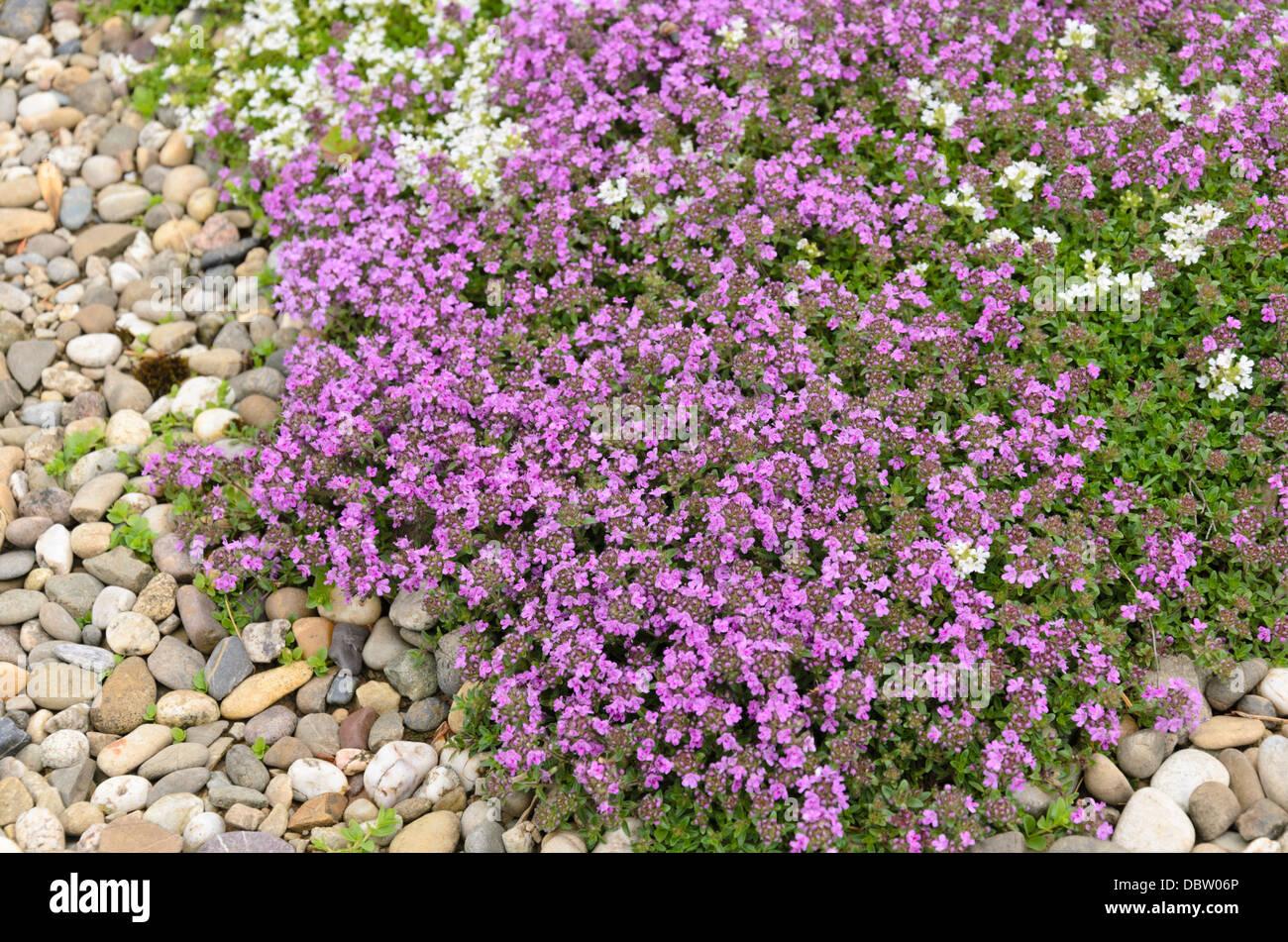wilder thymian thymus serpyllum 39 coccineus 39 und thymus serpyllum 39 alba 39 stockfoto bild. Black Bedroom Furniture Sets. Home Design Ideas