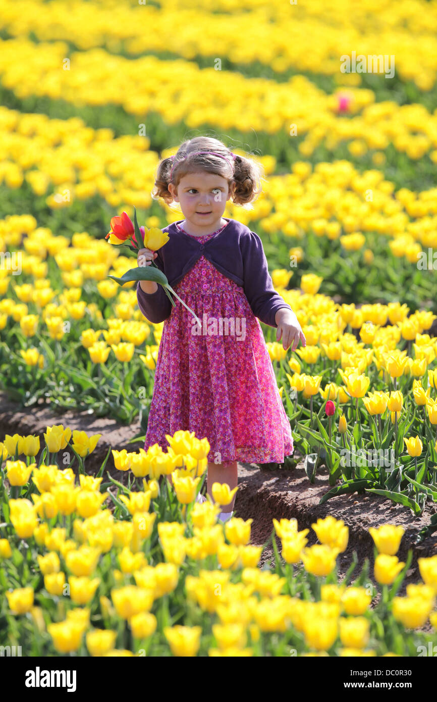 ein kleines m dchen w hlen sie tulpen in einem feld in norfolk uk stockfoto bild 59025092 alamy. Black Bedroom Furniture Sets. Home Design Ideas