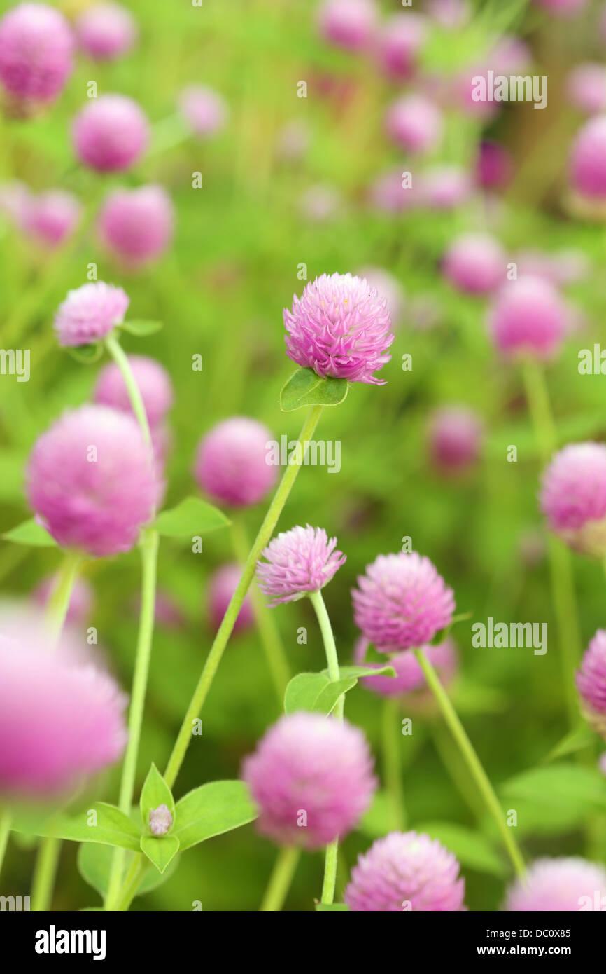 Globe Amaranth oder Gomphrena Globosa Blume Stockfoto