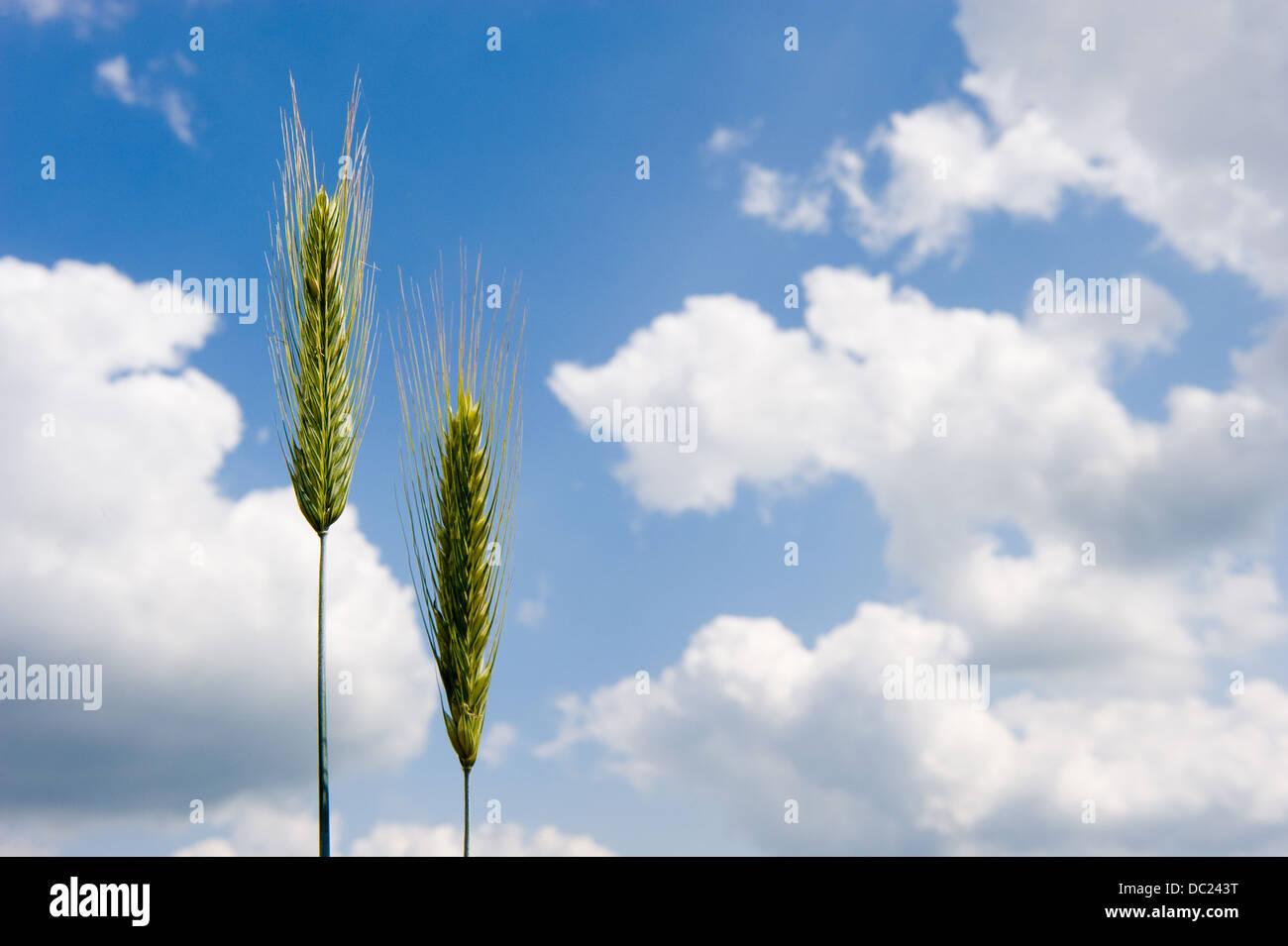 Weizen auf einem Maisfeld in Deutschland Stockbild