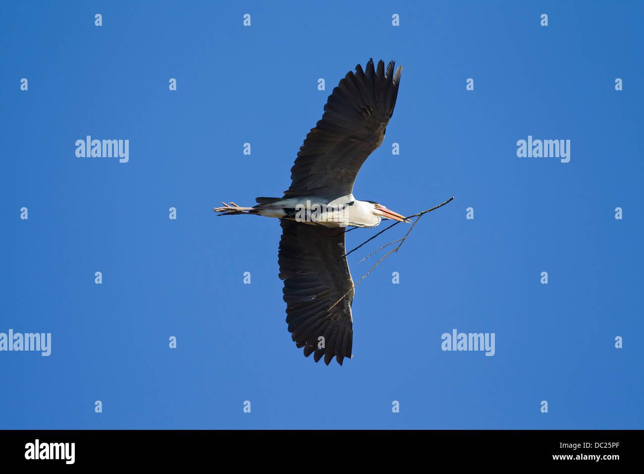 Graue Reiher / Graureiher (Ardea Cinerea) im Flug mit Zweig im Schnabel als Nistmaterial für Nestbau Stockbild