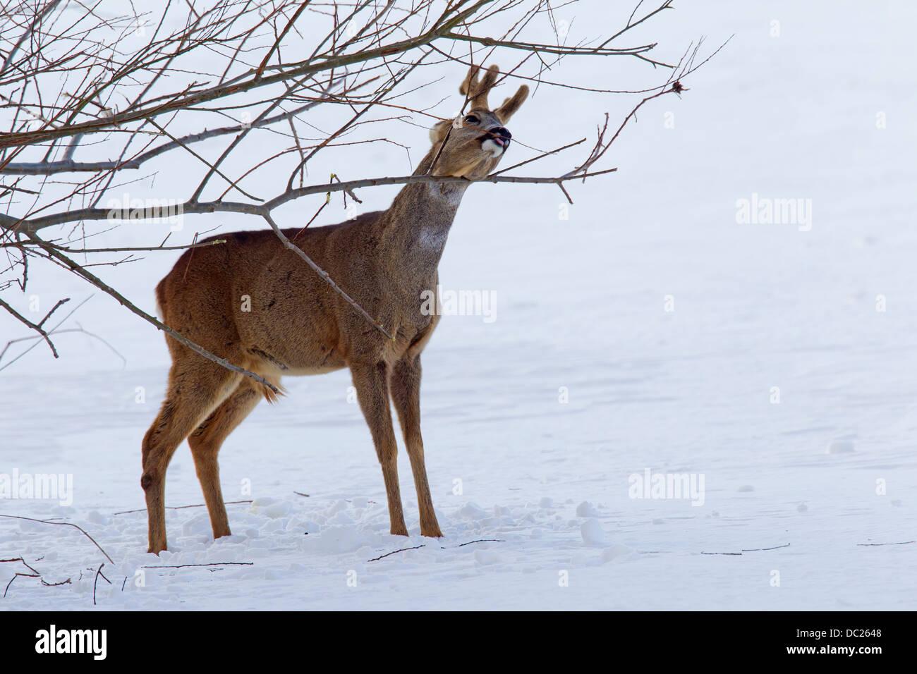 Reh (Capreolus Capreolus), Rehbock / buck, Fütterung auf Rinde von Zweigen vom Strauch im Schnee im Winter Stockbild